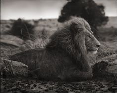 Majestic: Lion on Burned Ground, Serengeti, 2012, photographed by British photographer Nick Brandt.