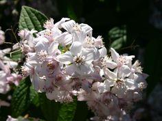 Rosendeutzie 'Mont Rose' - Deutzia hybrida 'Mont Rose'