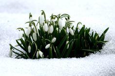 Snowdrops   Galanthus   February Fair Maids