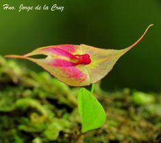 Lepanthes guanacastensis Birds, Warm, Mini, Plants, Flowers, Orchids, Bird, Plant, Planets