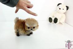 Pomeranian puppies... so small:]