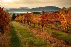 Vineyards in the fall...beautiful in every season..