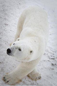Cross Legged Polar Bear   Polar Bear, Churchill, Canada   Flickr