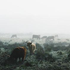 Cow territory