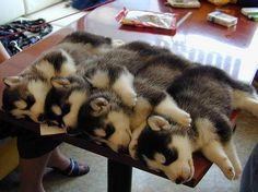 Twitter / dogpic84: お昼寝中の四つ子 ...
