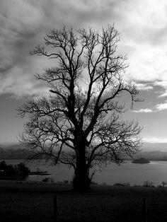 Old Ash Tree, Lough Eske, Donegal Town