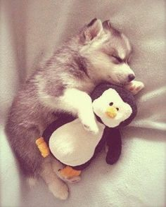 Puppies Cuddling With Their Stuffed Animals During Nap Time Husky puppy taking a nap with his stuffed penguin. I FOUND OUR PUPPY Childress Dennis !Husky puppy taking a nap with his stuffed penguin. I FOUND OUR PUPPY Childress Dennis ! Cute Husky Puppies, Puppy Cuddles, Puppy Husky, Adorable Puppies, Snuggles, Cutest Puppy, Huskies Puppies, Pomeranian Husky, Funny Puppies