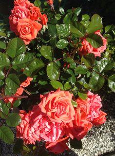 "Rosen ""Anichkov Palace Rose"" - My own garden 29.6.14 IJ"