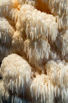 lions-mane-mushrooms might be useful for regenerating nerves and treating Alzheimer's IDEA FOR LIGHTING?