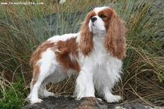 cavalier king charles spaniel,  want one!