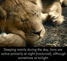 #LionsSleeping #LionsFacts #AnimalsKnowledge