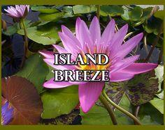 Island Breeze  OverSoyed Fine Organic by OverSoyedOrganics on Etsy