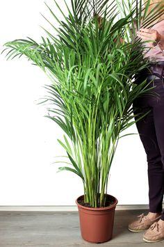 Пальма с шикарной пышной зеленью, яркая и не требующая сложного ухода. Арека - один из самых популярных выборов в офисные помещения благодаря своей неприхотливости и объему.