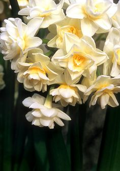 "ERLICHEER, 1934 - Great outside where winters aren't too cold (zone 6 and warmer), double ""Early Cheer"" is also a favorite daffodil for winter forcing indoors on pebbles and water. It blooms in frothy clusters of 15-20 richly fragrant florets of creamy, old-lace white flecked with gold. 14-16"", zones 6a-9b"