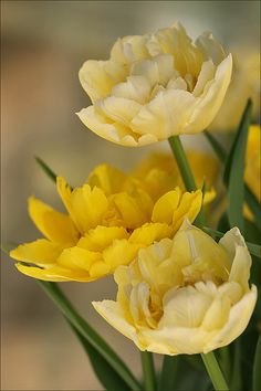Double yellow tulips