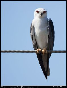 Most Delicate looking raptor I have ever seen.  Black-Shouldered Kite (Elanus caeruleus) by Aatur Ravani :)