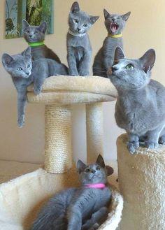 Uma família de Azuis Russos. O Azul russo é uma raça de gato que tem um pelo azul-prateado. São relativamente inteligentes e brincalhões, mas tendem a ser tímidos com estranhos. Eles desenvolvem laços estreitos com seus companheiros humanos e são procurados como animais de estimação devido a suas personalidades, a bela cor de sua pelagem e ainda devido ao fato de serem um dos gatos menos destruidores em casa.