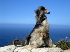 Afghan hound in the wind!