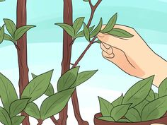 How to Grow a Bay Tree. The bay tree (Laurus Nobilis) has been treasured by people for millennia for its culinary uses, its beauty, and its representation of wisdom and victory. Purchase a bay tree seedling or take cuttings. Bay Leaf Tree, Bay Leaves, Plant Leaves, Spice Garden, Herb Garden, Growing Herbs, Growing Tree, Bay Laurel Tree, Laurus Nobilis