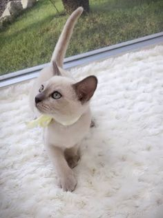 Latest Free cats and kittens siamese Thoughts While you take a different kitten straight into your house, regarded as thrilling time, as well as for a lot Whiskers On Kittens, Cute Cats And Kittens, Cool Cats, Kittens Cutest, Pretty Cats, Beautiful Cats, Animals Beautiful, Cute Animal Pictures, Cute Baby Animals