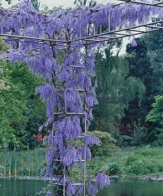 Look what I found on #zulily! Amethyst Falls Wisteria Vine by Seedling & Sprout #zulilyfinds