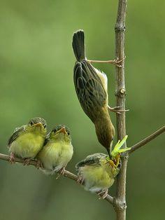 Pájaros: La mamá dando de comer a los bebés.