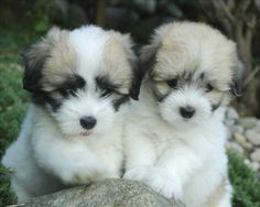 Check out http://cotonsofadamseden.com!  Worlds Finest Cotons. Coton Breeder of integrity, excellence and kindness dedicated to producing beautiful, healthy and well socialized puppies. Our Coton adults are health tested to produce the highest quality puppies.