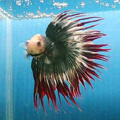 Tropical fish poster sea life posters pictures prints for Lifespan of a betta fish in captivity