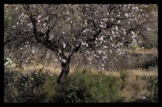 The Almonds are starting to bloom here, soon the mountains will be dotted with pink. Almanzora Valley, Almeria, Spain.