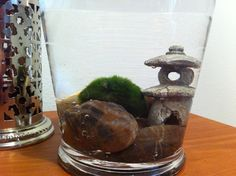 marimo moss ball mini-aquarium - love this one! Moss Garden, Water Garden, Garden Plants, Mini Aquarium, Aquarium Ideas, Colorful Flowers, Beautiful Flowers, Garden Inspiration, Garden Ideas