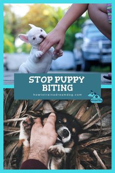 OUCH! Puppy teeth are razor sharp! Puppies are like babies - they put everything in their mouths to explore the world. Even though it is normal, it is still important to teach your puppy not to chomp down on you so you can save your fingers and clothes.