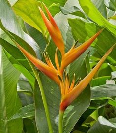 Heliconia Alan Carle - Haste floral ascendente