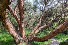 It may have taken this massive Polylepis tree decades to reach this size.