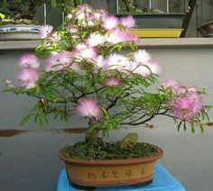 Bonsai tree.......