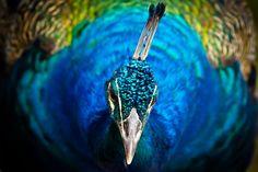 Azul/verde iridescente