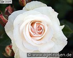 Englische Rose in A-Qualit/ät Wurzelware R- Jude the Obscure