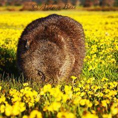 Flower arranging, wombat style. Narawntapu National Park, Northern Tasmania: Andrew Bain Gold Coast Australia, Australian Animals, Wombat, Tasmania, Beautiful Space, Australia Travel, North West, West Coast, Mammals