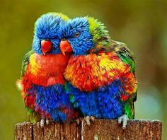 Rainbow Lorakeet pair