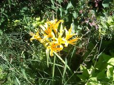 Fall surprise-plant of the day Lycoris