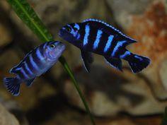 Malawi Cichlids, African Cichlids, Beautiful Tropical Fish, Beautiful Fish, Cool Fish, Tropical Aquarium, Tanked Aquariums, Colorful Fish, Planted Aquarium