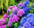 Hortensie - Pflege, Schneiden, Vermehren