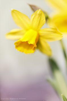 Narcissus by Zlatica Rybárová on 500px