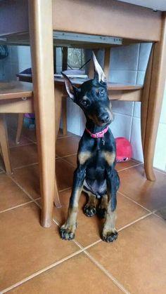#Doberman puppy | Re-pinned from Forever Friends Fine Stationery & Favors http://foreverfriendsfinestationeryandfavors.com