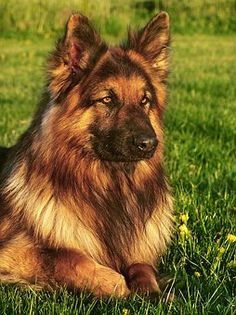German Shepherds as wolfdog breeds in the world