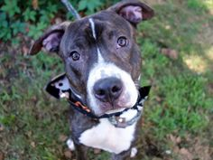 SUPER URGENT  **RETURNED!!** THEO – A1047126  ***ADOPTED 6 MOTHS AGO!!***  RETURNED 03/26/16*** REASON: NO TIME  ** NEUTERED MALE, BR BRINDLE / WHITE, STAFFORDSHIRE, 1 yr, 6 mos OWNER SUR – EVALUATE, HOLD FOR ID Reason NO TIME Intake Date 03/26/2016, From NY 10473,