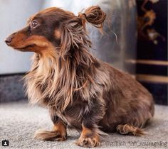 Dachshund with a man bun! Weenie Dogs, Dachshund Puppies, Dachshund Love, Cute Puppies, Cute Dogs, Dogs And Puppies, Daschund, Doggies, Dapple Dachshund