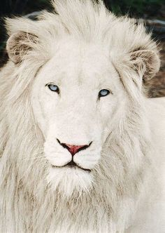 Gorgeous white lion  So beautiful!