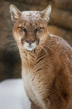 awesome snow bobcat