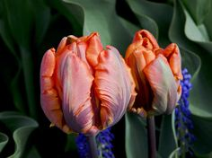 This image of tulips was captured at Roozenguaarde Gardens during the Skagit Valley Tulip Festival