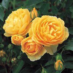Graham Thomas English Rose from David Austin Roses
